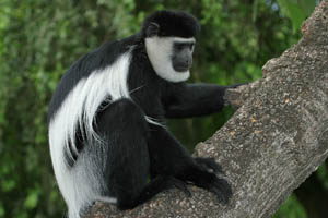 安哥拉疣猴