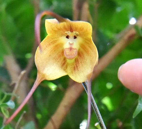 """日本植物园现""""猴脸兰花"""" 眼睛鼻子毛发俱全"""