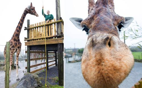 英国一长颈鹿高达5.8米 或为世界最高长颈鹿