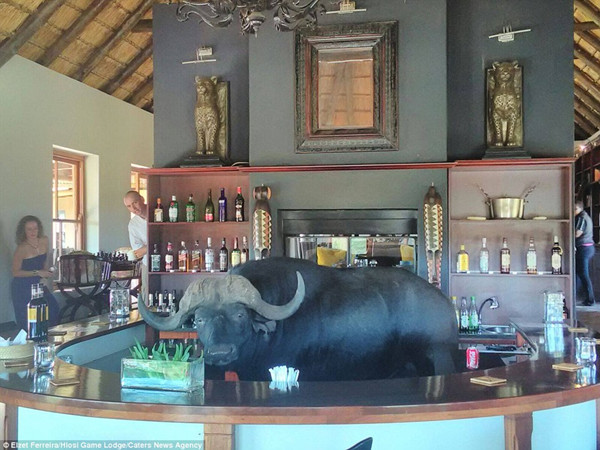 南非野生动物保护区水牛造访酒吧