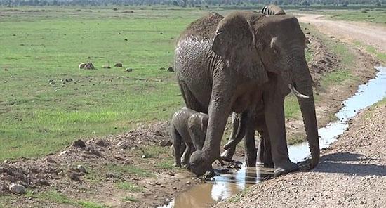 坦桑尼亚小象恐过小水沟 象妈妈耐心引导
