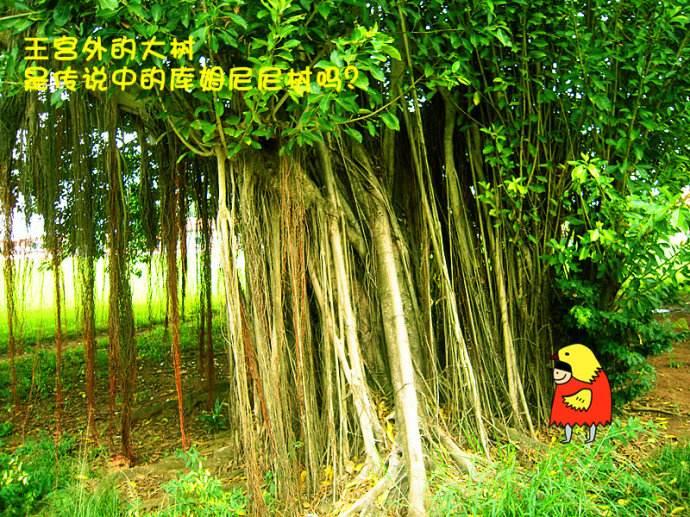 加纳阿散蒂王国神树
