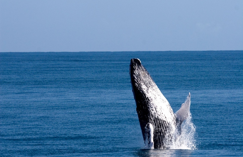 多米尼加萨马纳观鲸