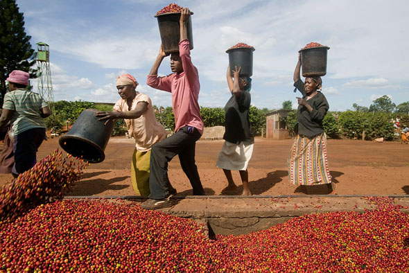 牙买加金斯敦蓝山咖啡种植园
