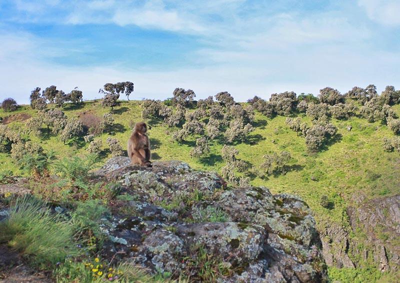 埃塞俄比亚瑟门山国家公园狮尾狒