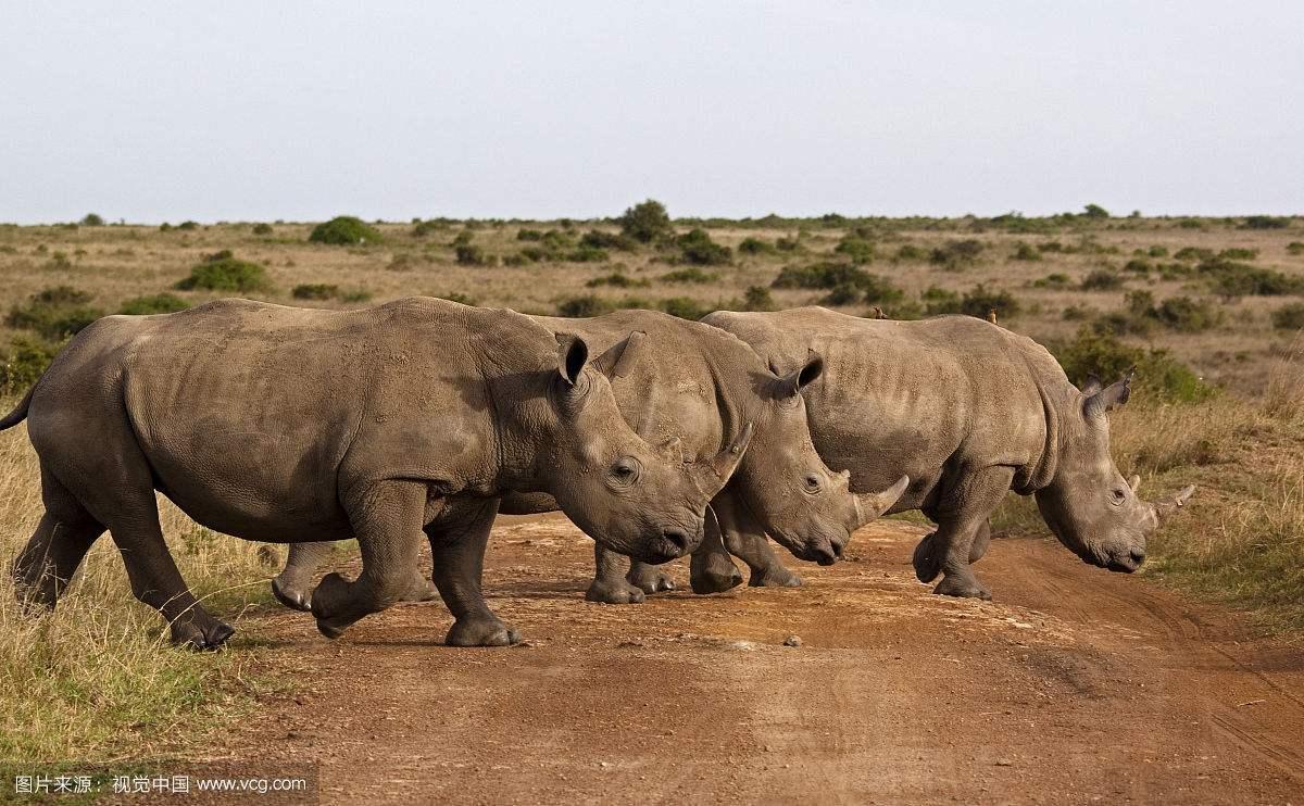 肯尼亚内罗毕国家公园黑犀牛