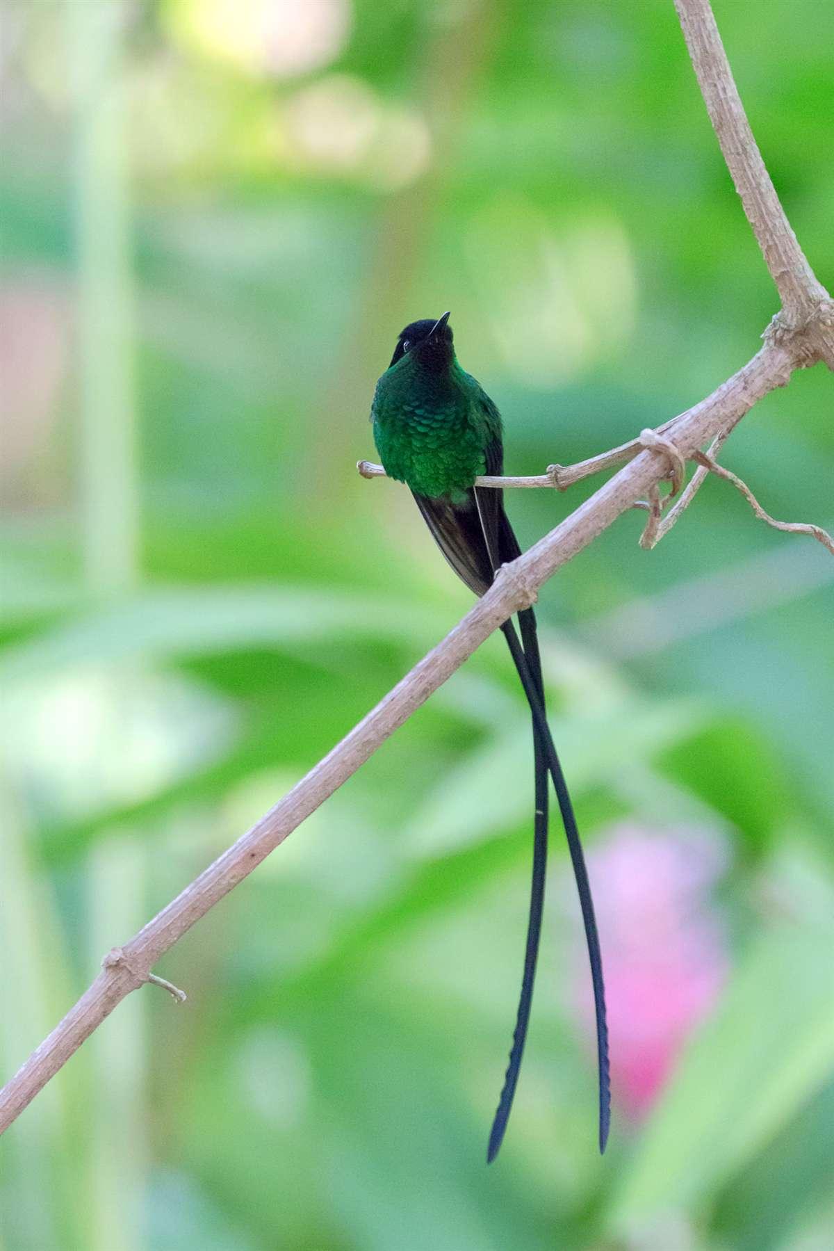 牙买加长尾蜂鸟