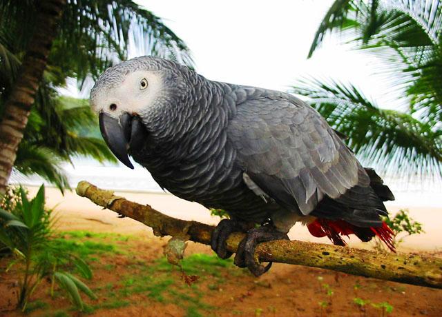 圣多美和普林西比国鸟非洲灰鹦鹉