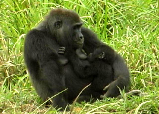 卢旺达山地大猩猩