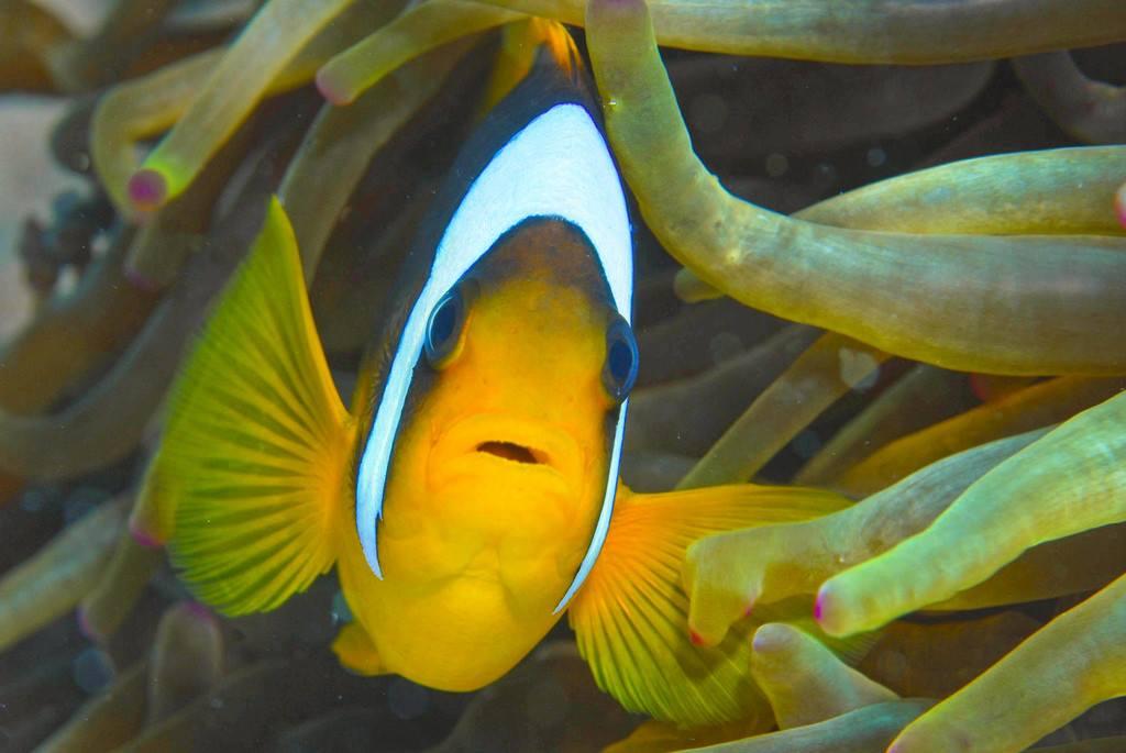 莫尼小丑鱼