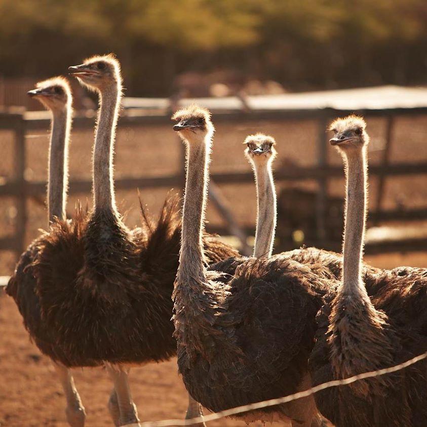加勒比库拉索鸵鸟农场