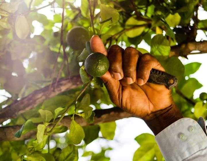 加勒比海库拉索岛苦橙