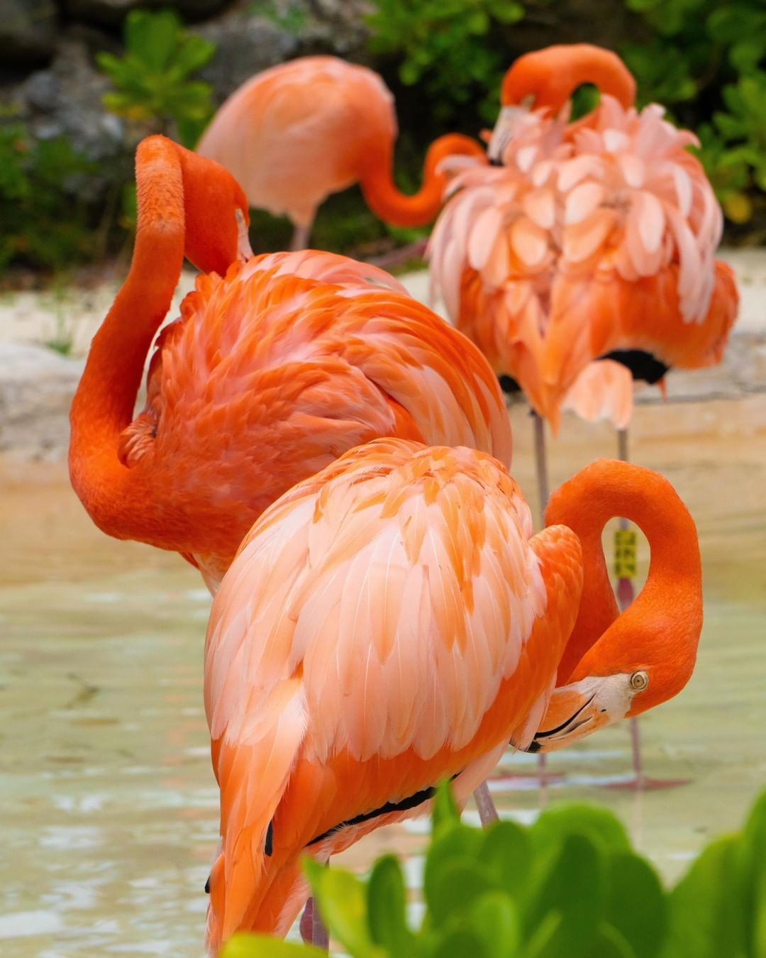 墨西哥坎昆Xcaret西卡莱特公园火烈鸟